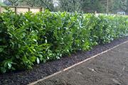 hedgeplanting